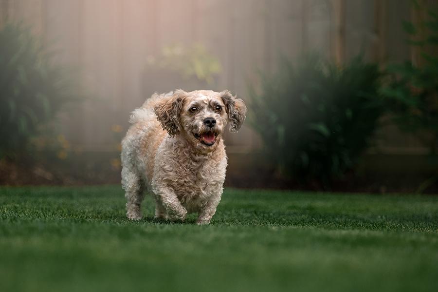 Oscar dog in St. Albert