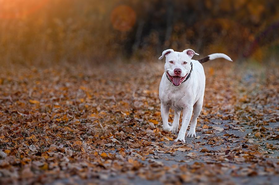 Pitbull running photography