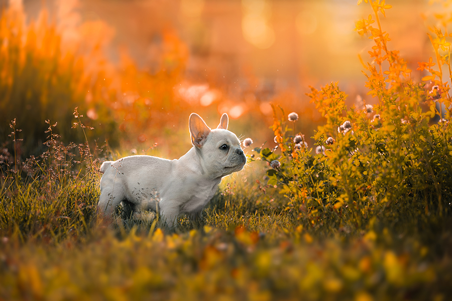 Clover field in Edmonton with french bulldog
